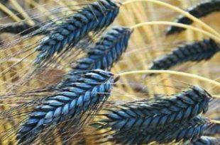 Karabuğday Tüketmek İçin Harika Nedenler